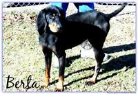 "Young Female Dog - Black and Tan Coonhound: ""Berta"""