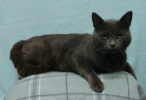 "Adult Male Cat - Russian Blue: ""Charlie"""
