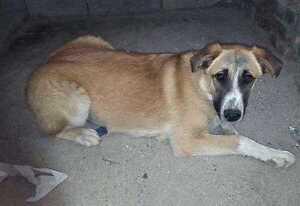 "Young Female Dog - Labrador Retriever-Border Collie: ""HANNAH"""