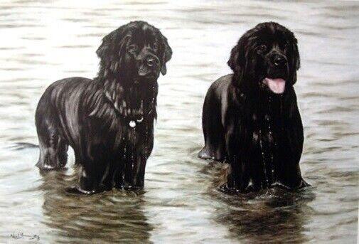 Newfoundland Dog Newf Limited Edition Art Print Soaked by Steven Nesbitt*
