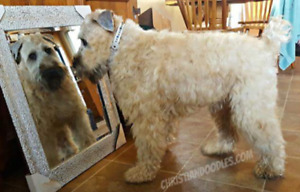 SOFT COATED WHEATEN TERRIER /Poodle GENETIC TESTED WHOODLES