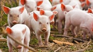 Free Ranged Pastured Piglets for sale