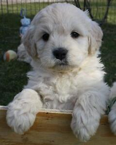 Looking to adopt a golden retriever or F1 golden doodle