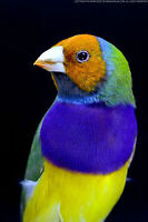 Gouldian Finches (Blue Back/Green Back/Yellow back)