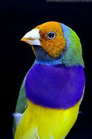 Gouldian Finches Green Back