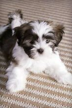 WANTED - Maltese x Shih Tzu puppy South Plympton Marion Area Preview