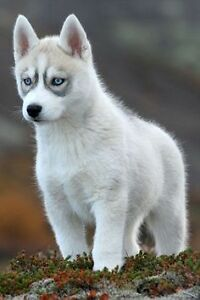 Wanted: Male Siberian Husky Puppy