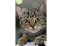 Lost Male Tabby Missing in Cringleford/Roundhouse NR4