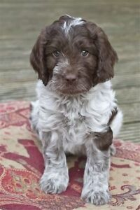 Looking for a Springer/Poodle(sproodle)puppy