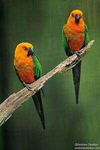 Young bonded pair jenday Conure's Moonee Ponds Moonee Valley Preview