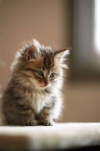 In urgent search of free fluffy kitten  London Ontario image 2