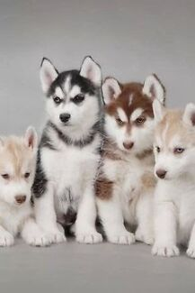 Looking to buy a Siberian husky puppy Vasse Busselton Area Preview