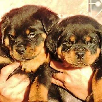 Big Head Rottweiler Puppies Dogs Puppies For Rehoming Delta
