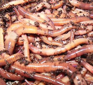 Vermicompost worms (red wigglers) for sale