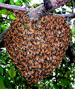 Free Honey Bee  Swarm Removal