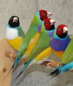 Breeding pairs of Gouldian Finches