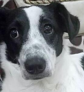 "Young Female Dog - Border Collie-Terrier: ""OREO"""