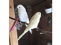 Lovelly Pure White Yellow Baby Budgie