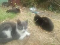 lovely grey and white 11 week old male kitten with green eyes