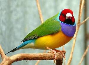Gouldian Finch Willetton Canning Area Preview