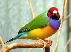 Male Gouldian Finches