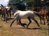 Registered Welsh  2 year old filly - New Video!