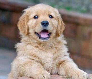 Wanted: WANTING!! PUREBRED GOLDEN RETRIEVER PUPPY