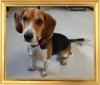 "Young Male Dog - Beagle: ""Dylan"""
