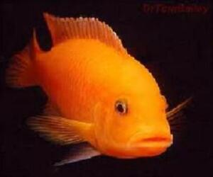 Red zerba and electric yellow lab cichlids for sale