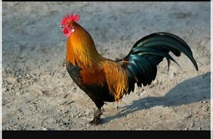 Pet Rooster