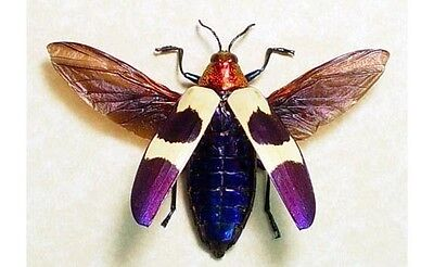 Real Framed Chrysochroa Buquetii Flying Metallic Red & Purple Jewel Beetle (Red Frame Png)