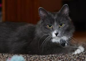 "Young Female Cat - Domestic Medium Hair: ""Grace Kelly"""