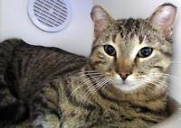 "Young Male Cat - Domestic Short Hair: ""Basil"""