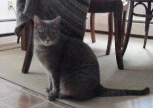 Adult Female  - Extra-Toes Cat / Hemingway Polydactyl-Tabby