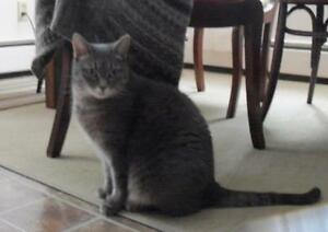 Female Cat - Extra-Toes Cat (Hemingway Polydactyl)-Tabby - Grey Cambridge Kitchener Area image 1