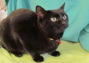 "Adult Female Cat - Domestic Short Hair-black: ""Bobble"""