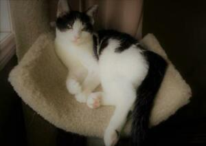 """Young Female Cat - Domestic Short Hair (Black & White): """"Alice"""""""