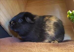 "Baby Male Small & Furry - Guinea Pig: ""Bob"""