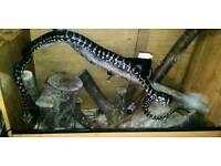 Adult carpet python and viv