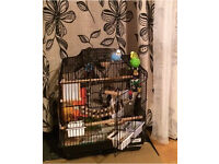 Pair of budgies with cage. £70. Maryhill area.