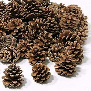 FREE - All the Freshly Fallen PINE CONES You Want
