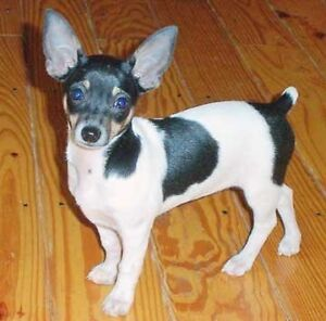 Looking for a Mini Rat Terrier