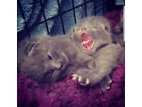 Ragdoll Cross Nebelung Kittens.