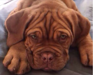 Dogue de Bordeaux Puppies will be Ready in time for Christmas