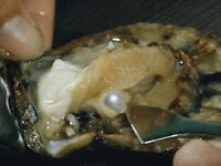 Oysters with Pearls inside plus Gift Sets