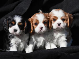 Kings Charle spaniel puppy