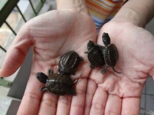Tortue Reeve's