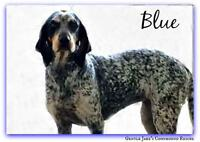 "Adult Female Dog - Bluetick Coonhound: ""Blue"""