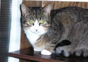 Young Female  - Domestic Short Hair-Domestic Short Hair