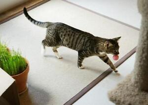 """Adult Male Cat - Tabby (Brown): """"Lionel"""""""